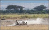 Zebra evening dustbath