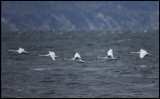 Mute Swans (Knölsvanar) crossing the ocean near Kullaberg