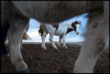 Iceland horses near Skålholt