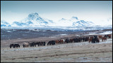 Iceland horses near Gullfoss