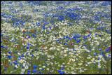 Midsummer flowers near Färjestaden - Öland