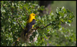 Often heard, but rarely seen - the Oriole at it`s nest in northern Spain