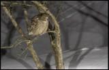 Blakiston´s Fishowl coming to catch fish in the night near Rausu