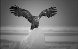 Adult Sea Eagle (Havsörn) in the pack-ice between Japan and Russia