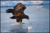 Adult Sea Eagle on the ice