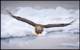 Adult Sea Eagle