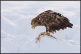 Eagles with fish