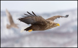 Adult Sea Eagle with immature Galucous Gull in the background