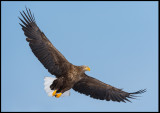 Adult Sea Eagle at Akan Crane-center