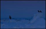 Before dawn in the pack ice near Rausu