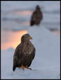 Adult eagle at sunrise