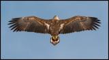 Immature Sea Eagle at Lake Furen
