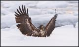Immature Sea Eagle landing in the deep snow