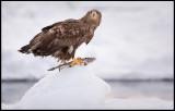 Immature eagle with fish