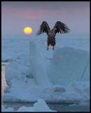 Adult Sea Eagle taking off at sunrise