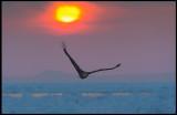 Sea Eagle and a short glimpse of the rising sun