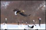 Adult Sea eagle searching food at Akan Crane-center