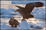 Two adult Sea Eagles