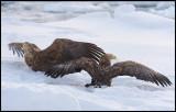 Adult Sea Eagles