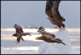Eagles taking off
