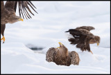 Eagles playing around looking for food