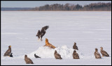 Red Fox surrounded by eagles at Lake Furen (two Steller`s)