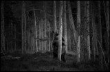 Brown bear standing in the forest at dusk - Finland
