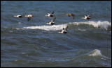 Eiders in gale - Torekov Scania
