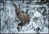 4-ear listening….Moose near Tännforsen
