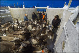 A small reindeer corral for selecting age