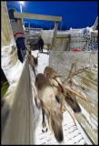 Reindeer entering the truck