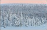 Low fjell forest near Svappavaara