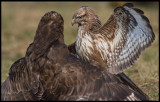 Common Buzzards (Ormvråkar) - Hungary