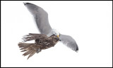 A Herring Gull attacking a Gyr Falcon- picking on the head!!