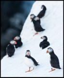 Still winter when the Puffins enter the breeding place at Hornøya