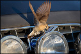 A female Northern Wheatear (Stenskvätta) attacking the reflections on the car of my son in law