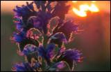 Viper`s Bugloss (Blåeld - Echium vulgare) Grönhögen