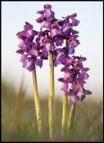 Göknycklar (Orchis morio) - Gårdstorp