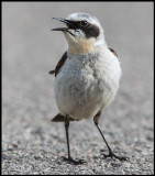 A very angry male Northern Wheatear (Stenskvätta) on the street outside my house