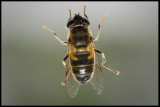 Hoverfly (Blomfluga) inside my bedroom window lit by LED-lamps