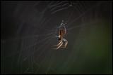 Garden Spider making repair of his net - Ottenby