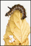 Which way to go? Butterfly larvae on autumn leave - Öland