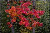 Autumn colors - an extremely red Maple near Skogstorp