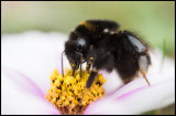Bumble-Bee eating in our garden