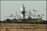 Barnacle Geese (Vitkindade gäss) and Långe Jans lighthouse
