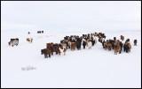 Iceland horses near Geyser