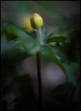 Yellow Anemone in bud (Gulsippa knopp) - Albrunna