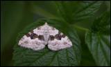 Backfältmätare (Xanthorhoe montanata) - Lönsås