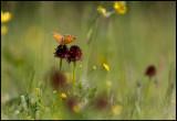 A meadow with Gymnadenia nigra (Brunkulla) - Jämtland