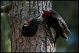 Male Black Woodpecker feeding young (Spillkråka) - Ope Jämtland